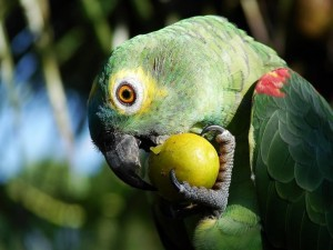 parrot_eating_lemon-300x225